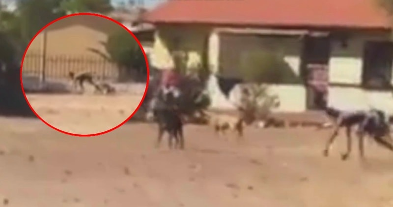 Half-Dog Half-Man Creature Filmed with Pack of Wild Dogs ... - photo#12