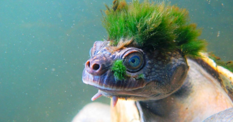 The Mary River Turtle Rare Footage Of A Green Punk Rock